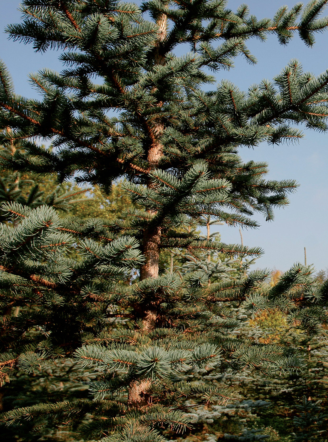 Hopeakuusi (Picea pungens 'Glauca') kuuluu taimitarhan peruslajikkeistoon.