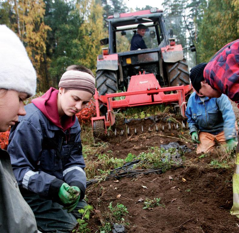 Käynnissä on Toijalan taimitarhan jokasyksyinen urakka, kolme vuotta pellossa kasvaneiden taimien nosto.