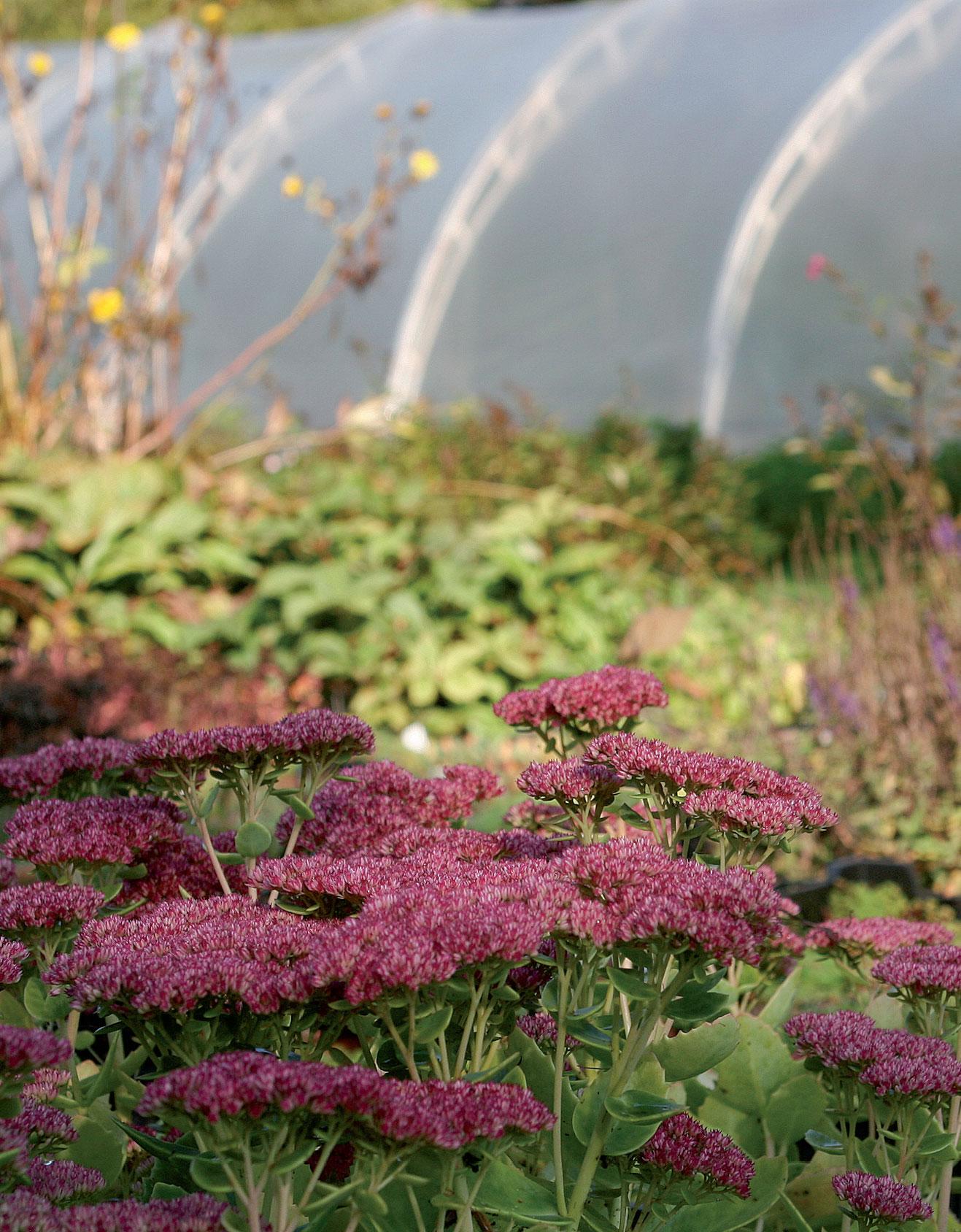 Kaikki perennat lisätään Toijalan taimitarhalla jakamalla tai pistokkaista, mikä varmistaa niiden lajikeaitouden.