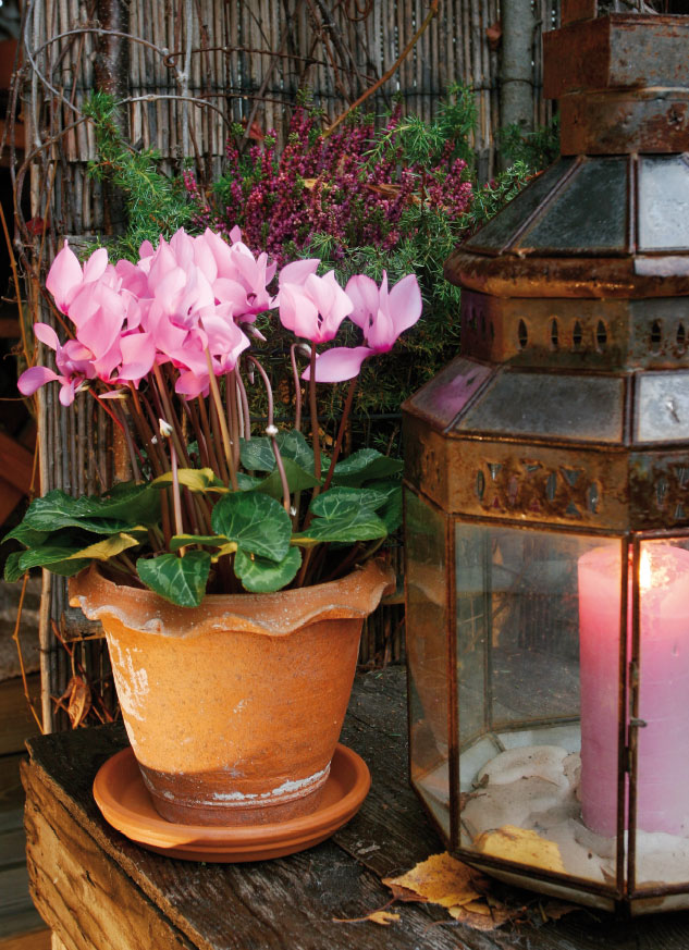 Herkkä syklaami on alkusyksyn kausikukka, joka viihtyy ulkona niin kauan, kun lämpötila pysyy nollan tienoilla.