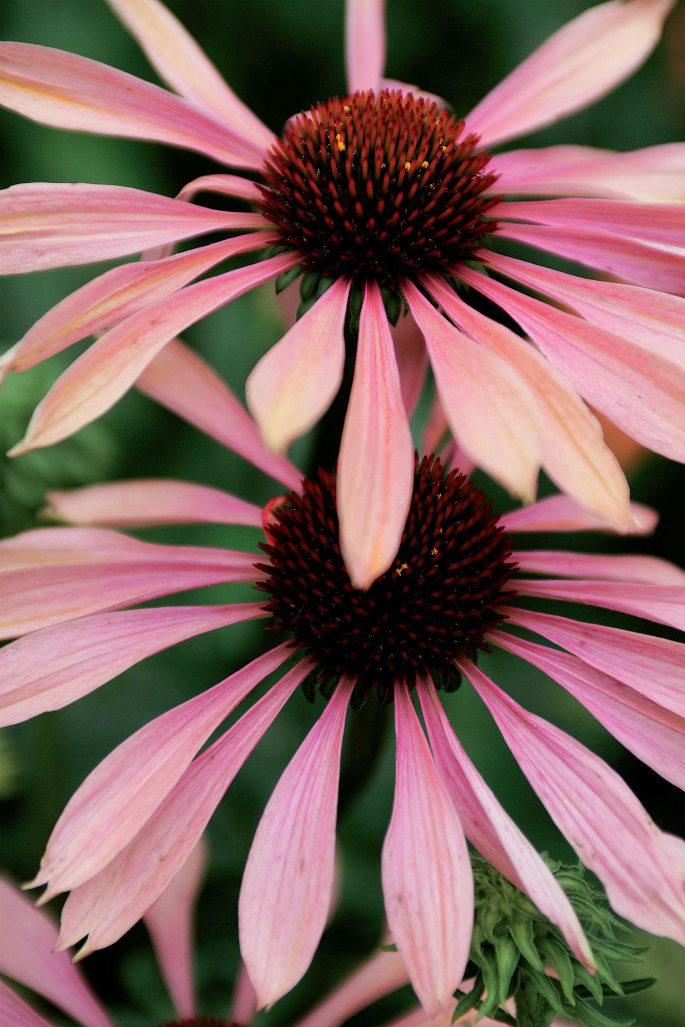 'Summer Sky'. Persikan- ja ruusunpunainen kaksivärinen lajike, joka säilyttää värinsä pitkään.