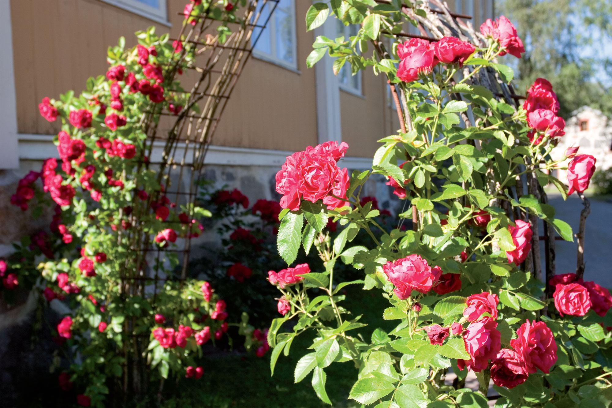 Pietarsaaren Aspegrenin puutarhan ruusu- ja yrttitarhaan astutaan 'Flammentanz'-köynnösruusua kasvavan portin kautta. Portti on tehty valurautaverkosta.