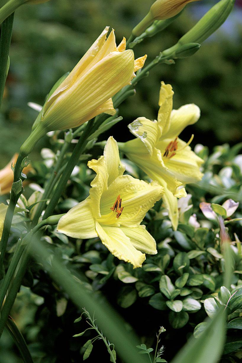 Sitruunankeltainen päivänliljalajike (Hemerocallis 'Lemon Queen') kukkii keltaisessa puutarhassa.