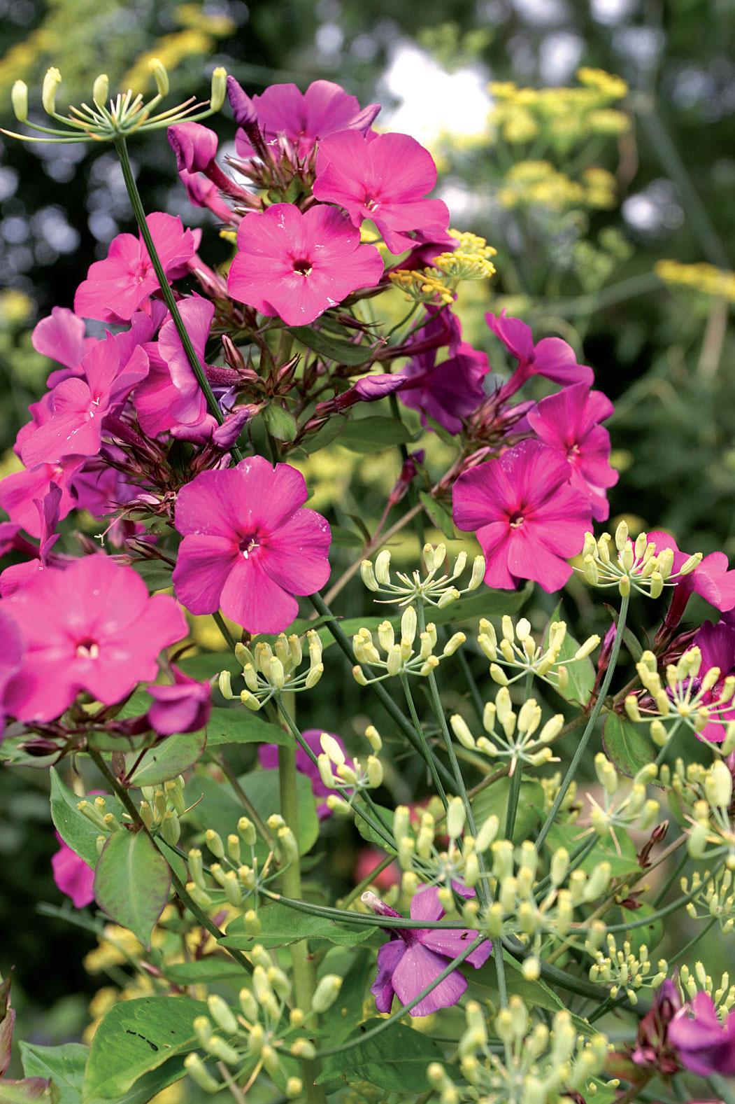 Syysleimu (Phlox paniculata 'Le Mahdi') ja fenkoli (Foeniculum vulgare) ovat kukkiessaan maalauksellinen yhdistelmä.