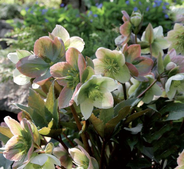 Tarhajouluruusu 'Silvermoon' (Helleborus x ericsmithii)