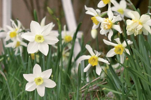 Historialliset narsissilajikkeet valtaavat Leivojen pihapiirin alkukesästä. Narsissimeressä muun muassa White Lady ja Mrs. Langtry -lajikkeet.