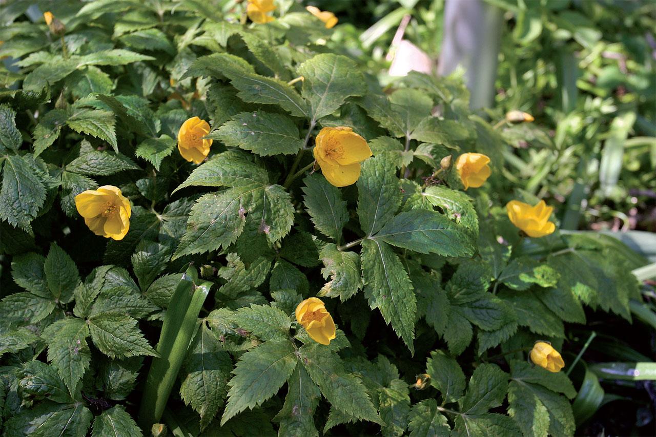 Kukkatarha, Metsäunikon keltaiset kukat näyttäytyvät heinäkuussa.