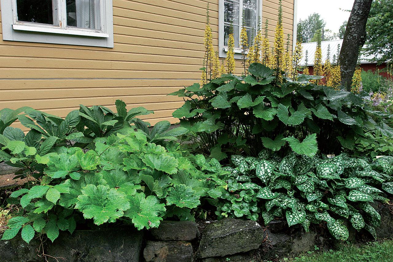 Puolivarjon kukkapenkissä menestyvät sormivaleangervo, kilpirikko, rohtoimikkä sekä tähkänauhus.