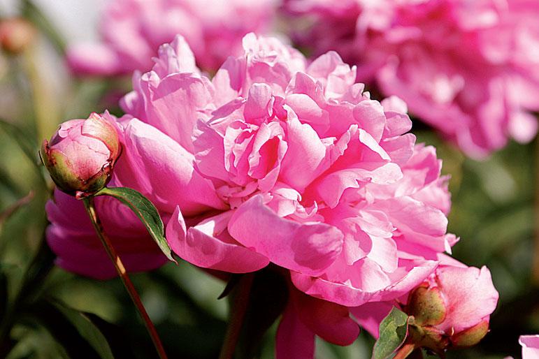'Edulis Superba' kukkii kiinanpioneista ensimmäisenä.