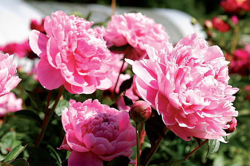 'Jadwiga' on ruusua muistuttava uutuuspionilajike, jonka kukat kimaltavat auringossa.