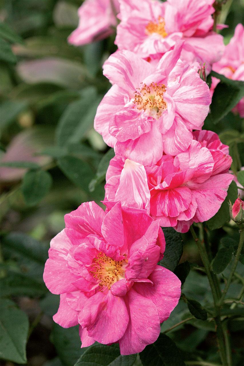 Ikivanha kirjoapteekkarinruusu (R. 'Rosa Mundi') on syntynyt silmumutaatiosta.