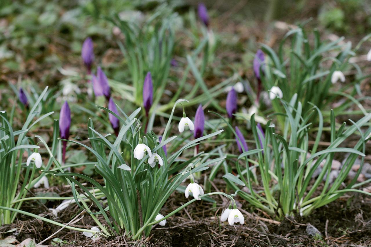 Krookuksen seurassa kukkii kerrannaiskukkainen lumikello 'Flore Pleno'.