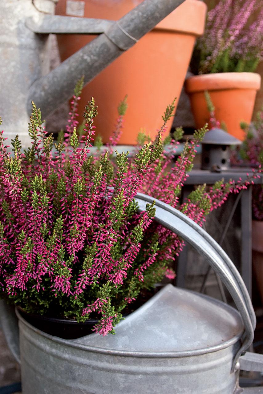 'Aphrodite' säilyttää kukkanuppunsa näyttävinä jopa marraskuulle asti.