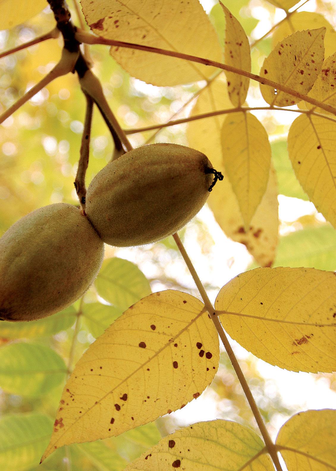 Suureksi kasvava jalopähkinä on vaikuttava kullankeltaisessa syyslehdistössään. Kypsät hedelmät tippuvat maahan ennen talventuloa. Jalopähkinälajit erottaa toisistaan hedelmien harjanteiden lukumäärän perusteella.