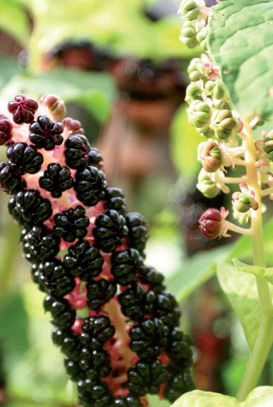 Kermesmarjan tähkämäinen kukinto kypsyttää syksyisin koristeelliset marjat. Kasvi on ruohovartinen perenna, vaikka kasvaakin pensasmaisesti.