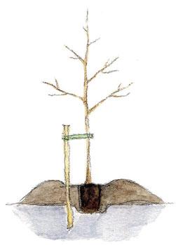 Pihapuu, Savisella maalla puu kannattaa istuttaa kumpuun, joka lämpenee keväällä tasamaata nopeammin.
