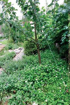 Karussa paikassa peitekasvillisuus saattaa kuluttaa liiaksi vettä ja ravinteita.