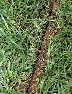 Saumojen väliin jäävä ruoho hidastaa nurmimaton juurtumista.