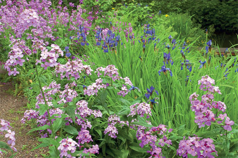 Kaksivuotinen illakko on tervetullut maatiaiskasvi, sillä se levittää purolaaksoon miellyttävää tuoksuaan iltaisin ja öisin. Sen seassa kukkii siperiankurjenmiekka.