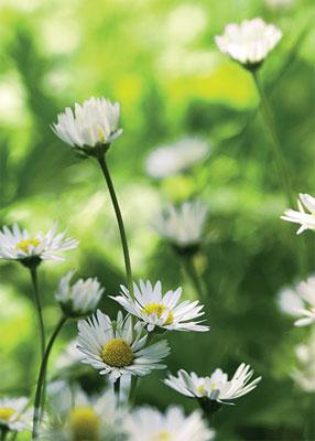 Kukkanurmi, Kaunokainen (Bellis perennis) on nurmien ykkösperenna. Kestävä luonnonkanta leviää siementensä avulla nopeasti laajaksi kasvustoksi.