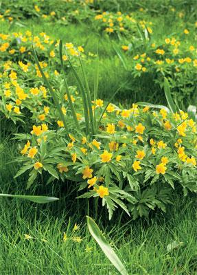 Kukkanurmikko – kevät tuo nurmikolle kauniin kukkamaton, Keltavuokot vaativat multavan, mielellään savensekaisen nurmikon.
