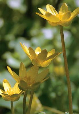 Kukkanurmi, Mukulaleinikki on erinomainen kosteiden nurmikoiden kukka.
