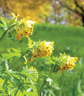 Jalokiurunkannuksen näyttävistä kukista ja lehdistöstä on enää muisto kesäkuun puolella.