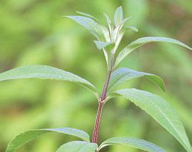Lippian (Aloysia triphylla) lehdissä on voimakas sitruunan aromi, joka kestää hyvin keittämistä ja kuivaamista.