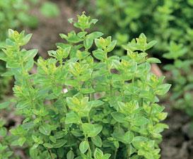 Suvikyntelin (Satureja biflora) sitruunainen maku sopii esimerkiksi teehen ja kalan mausteeksi.