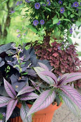 Rungollisen kesäkoison (Solanum rantonnetii) alla viihtyvät ametistipensas (Perilepta dyeriana), koristebataatti (Ipomoea batatas) 'Black Tone', siniviuhka (Scaevola aemula) 'Diamond' ja isokirjopeippi.