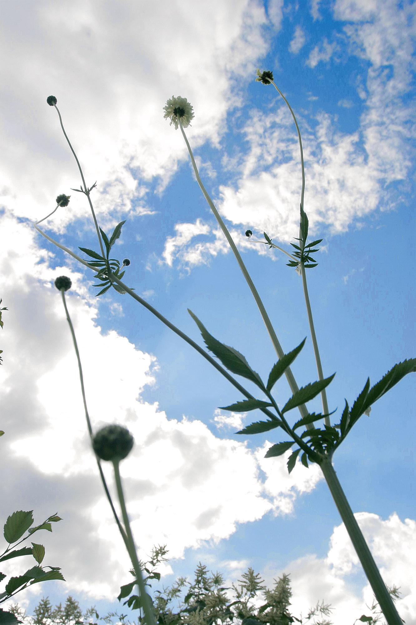 Kaukasiankirahvikukan (Cephalaria gigantea) kellertävät kukinnot kurottautuvat jopa 2,5- metrisiksi. Silti sen napakka varsi pysyy tuulisellakin paikalla tukematta pystyssä.