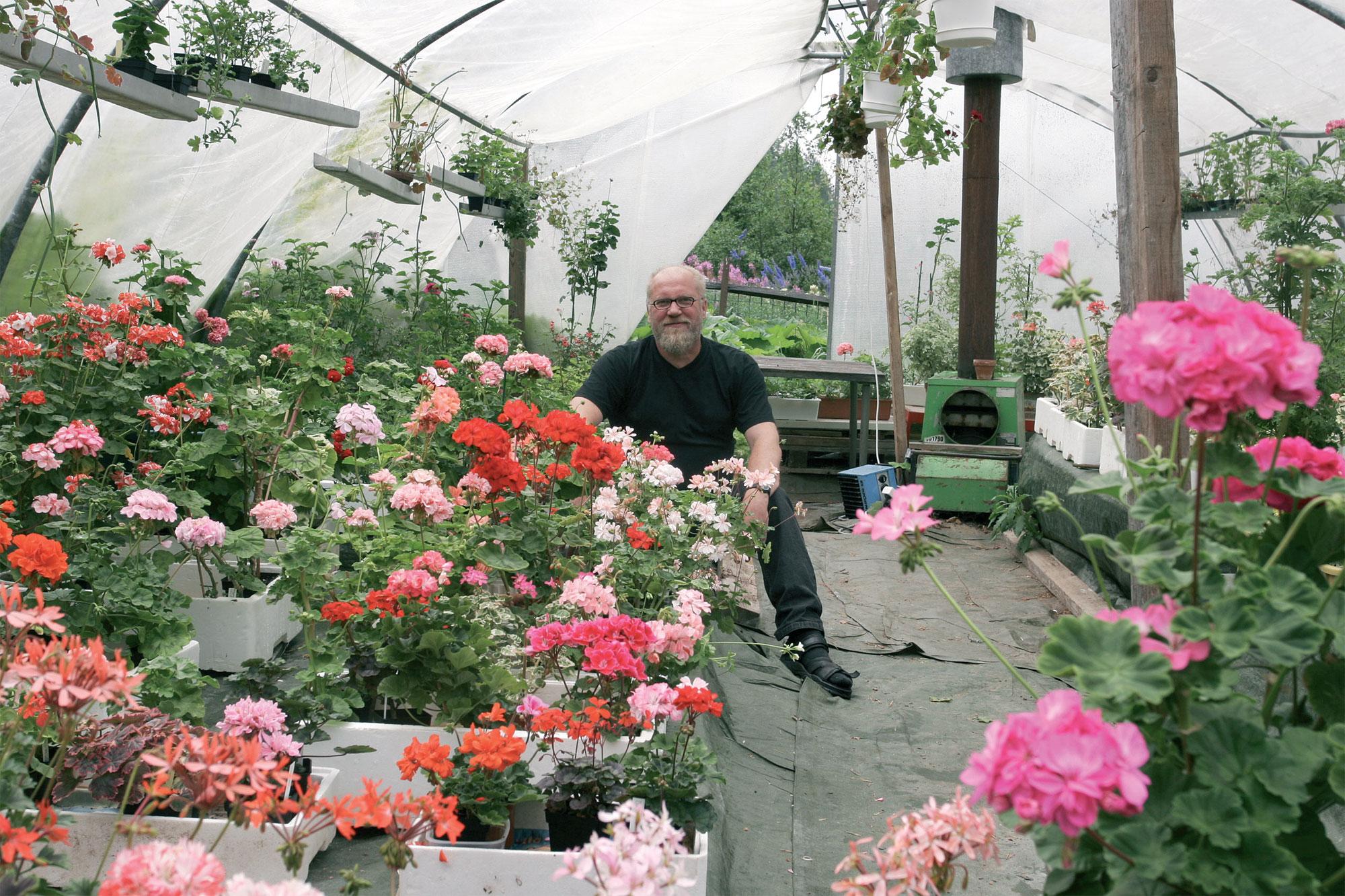 Jorma Ryynäsen ilo on ylimmillään keskikesällä, kun pelargonit kukkivat päivät päästään kausihuoneessa.