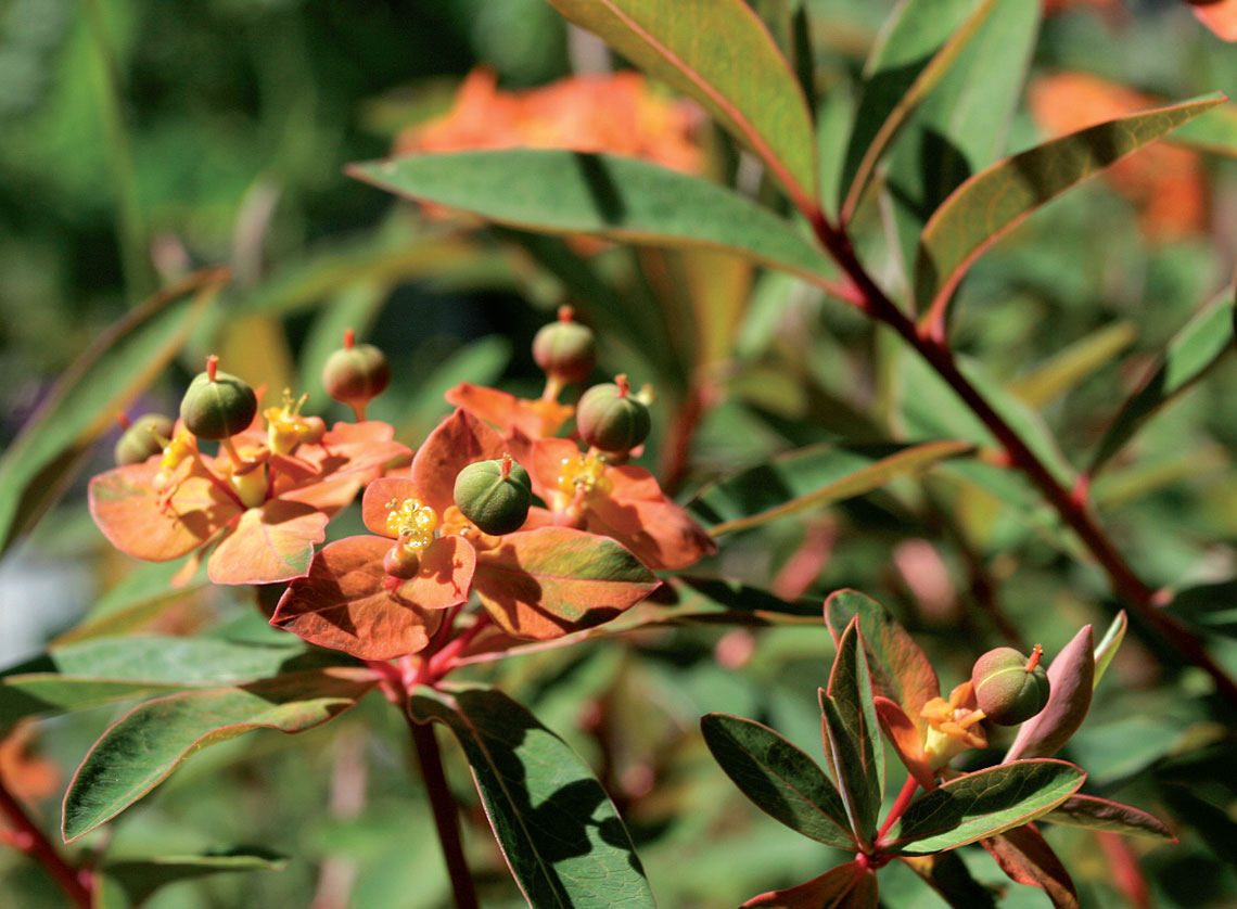Himalajantyrakki (Euphorbium griffithii) loppukesän asussaan.