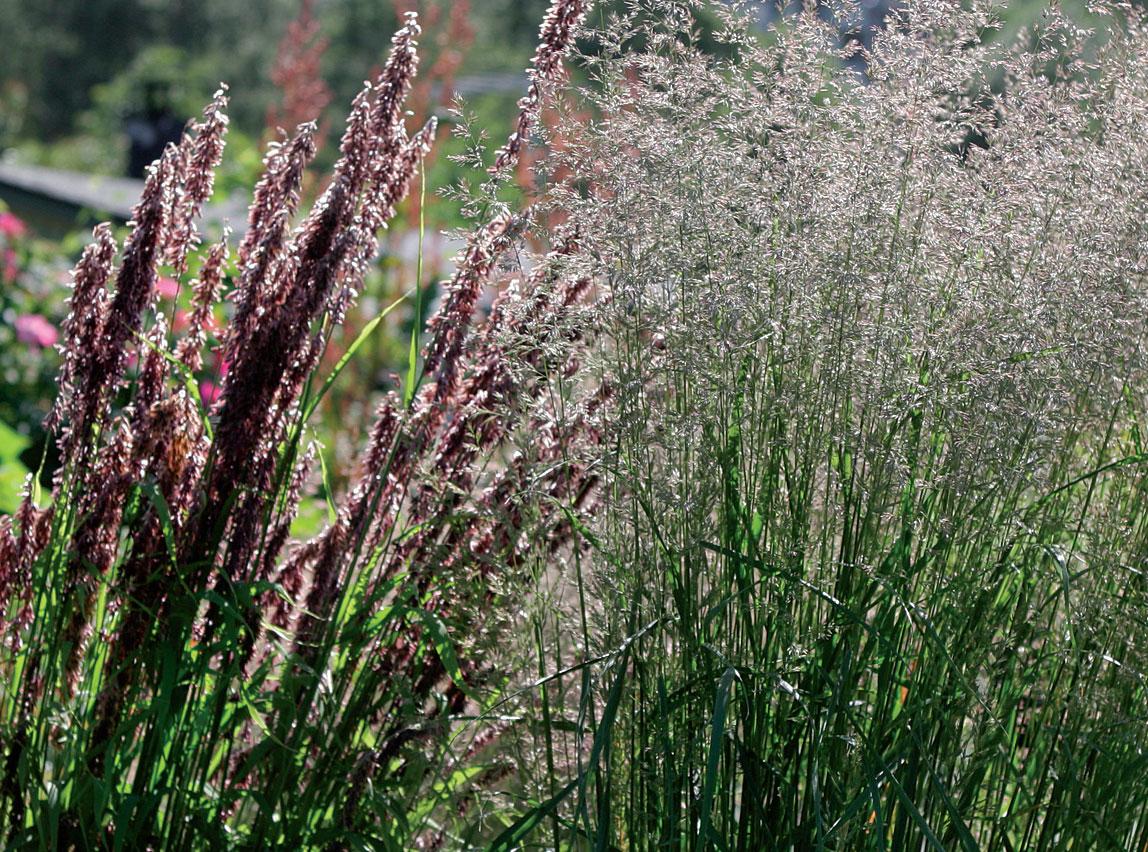Isohelmikkä (Melica altissima), koristekastikka