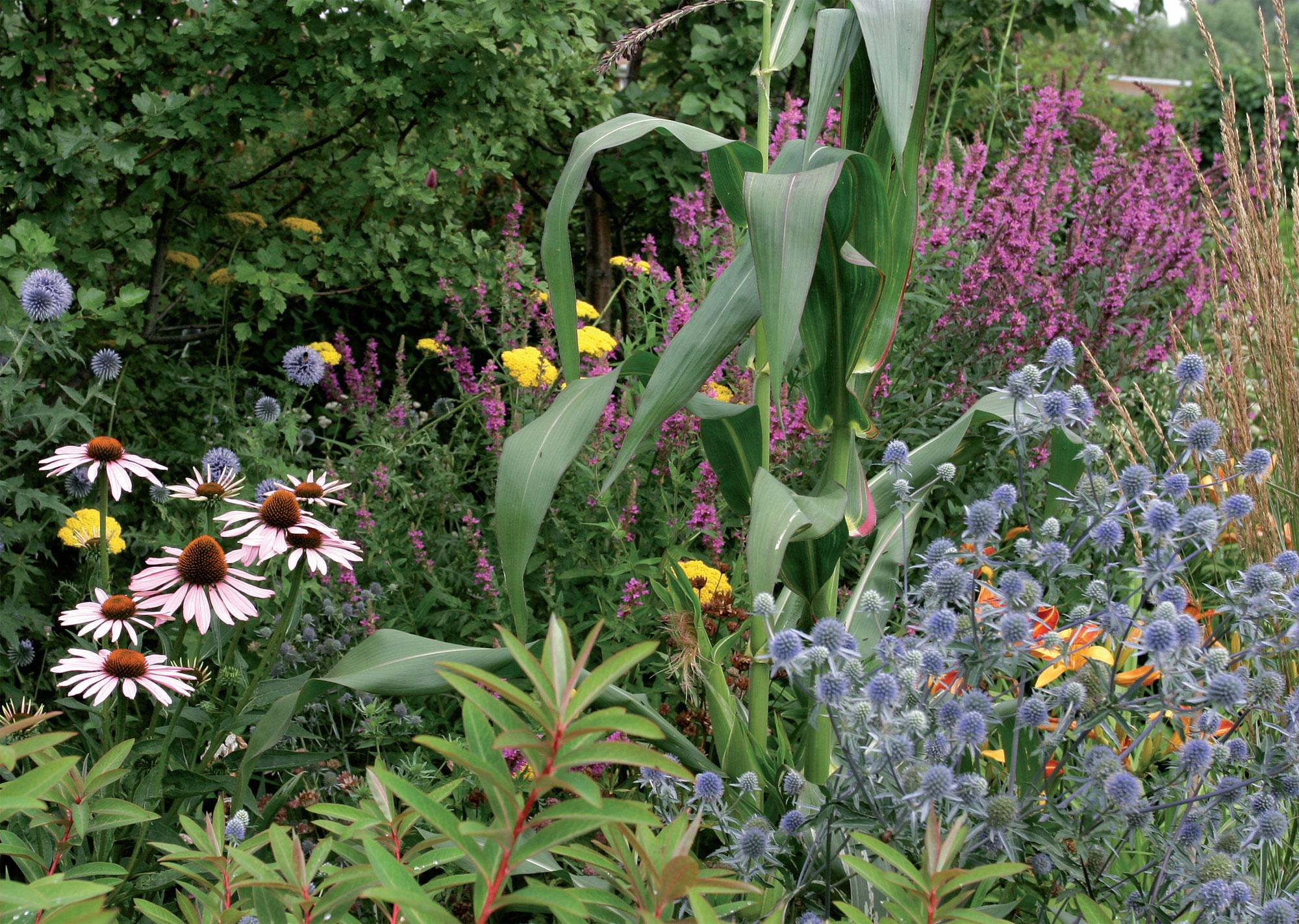 Syyskesällä kukkivat rantakukka, kultakärsämö, punahattu ja sinipiikkiputki. Keskellä kohoaa koristemaissi, vasemmalla pilkottaa sinipallo-ohdake