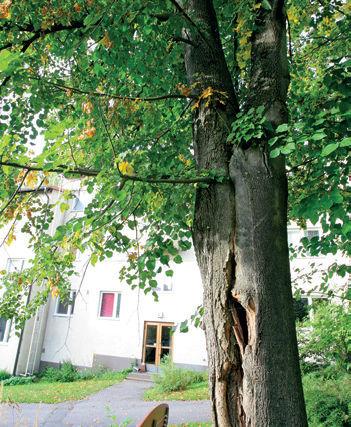Puuvauriot, puiden taudit ja puiden hoitovirheet, Männynkäävästä huolimatta puu elää pitkään.