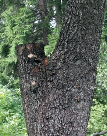 Puuvauriot, puiden taudit ja puiden hoitovirheet - lue ammattilaisen vinkit!, Arboristi Saija Asikainen